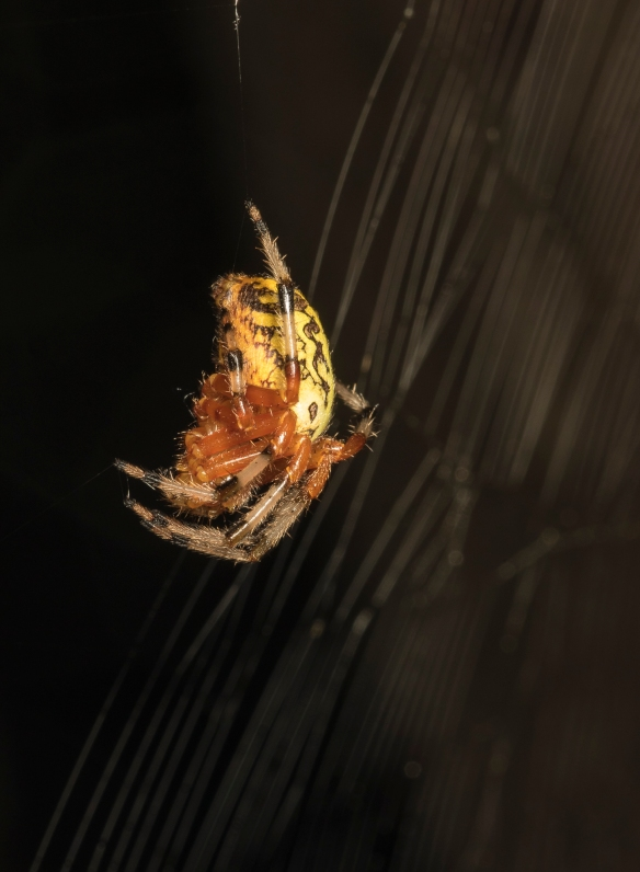 Marbled orb weaver side view