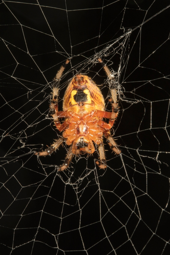 Marbled orb weaver ventral view