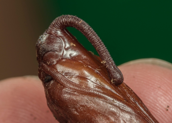Tobacco hornworm pupa close up