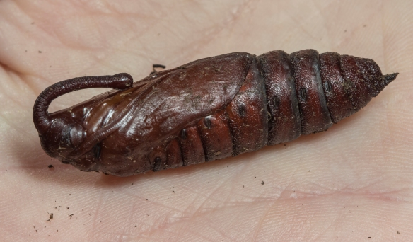 Tobacco hornworm pupa?