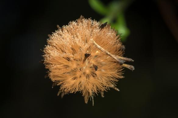 Unid seed head 1
