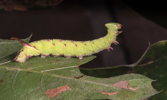 Walnut sphinx  caterpillar 1