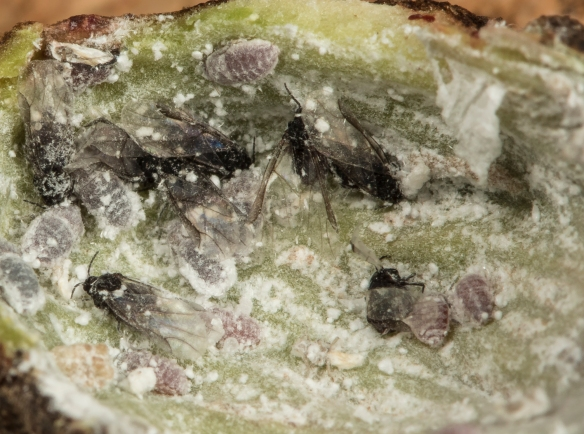 Aphids inside spiny witch hazel gall