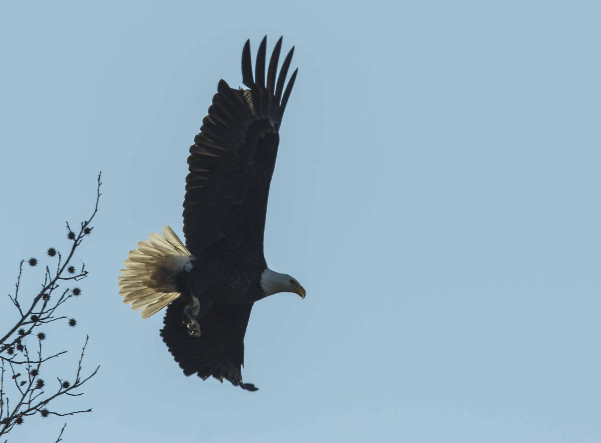 Bald eagle flying away
