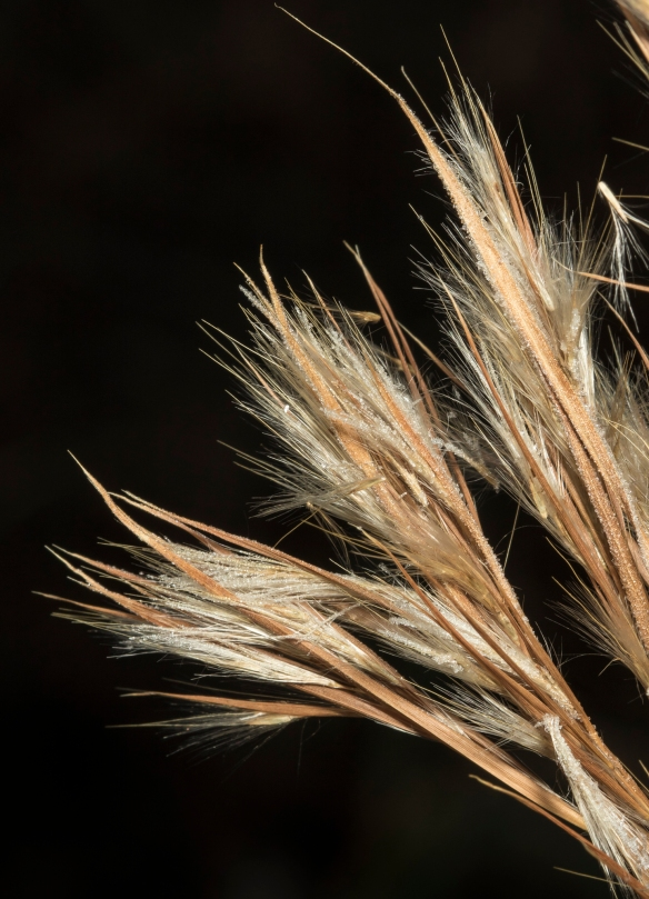 bushy broomsedge seeds
