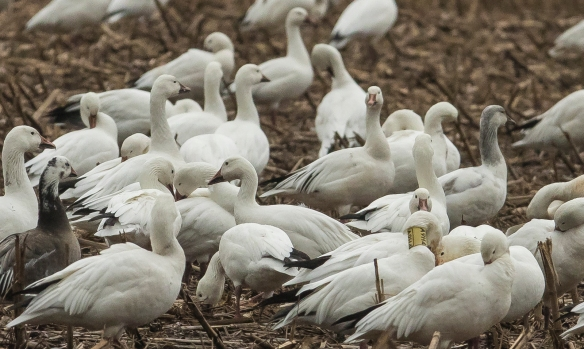 Collared Snow Goose 1