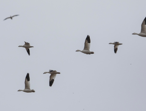 Comparison of Ross' and Snow Goose in flight