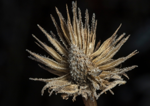 Coneflower seed head