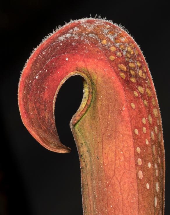 Hooded pitcher plant 1