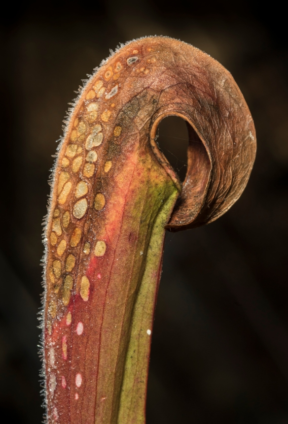 Hooded pitcher plant 2