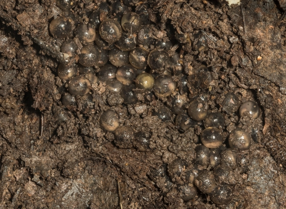 Marbled salamander eggs