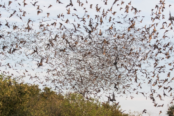 Mexican free-tailed bats flying out of Bracke Cave