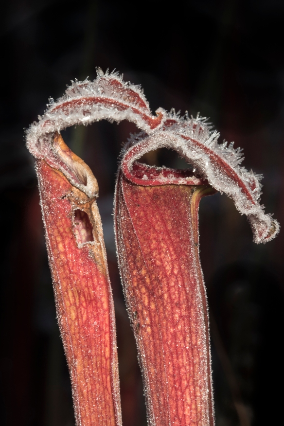Pair of pitcher plants