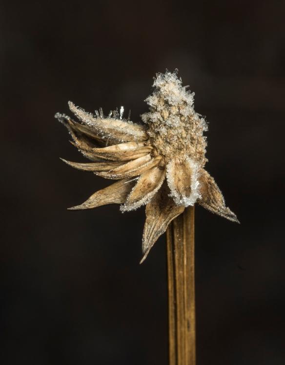 Partia seed head