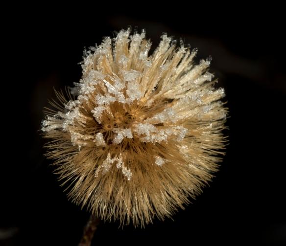 seed head 2