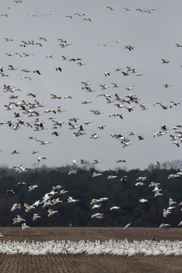 Snow geese landing on gray day