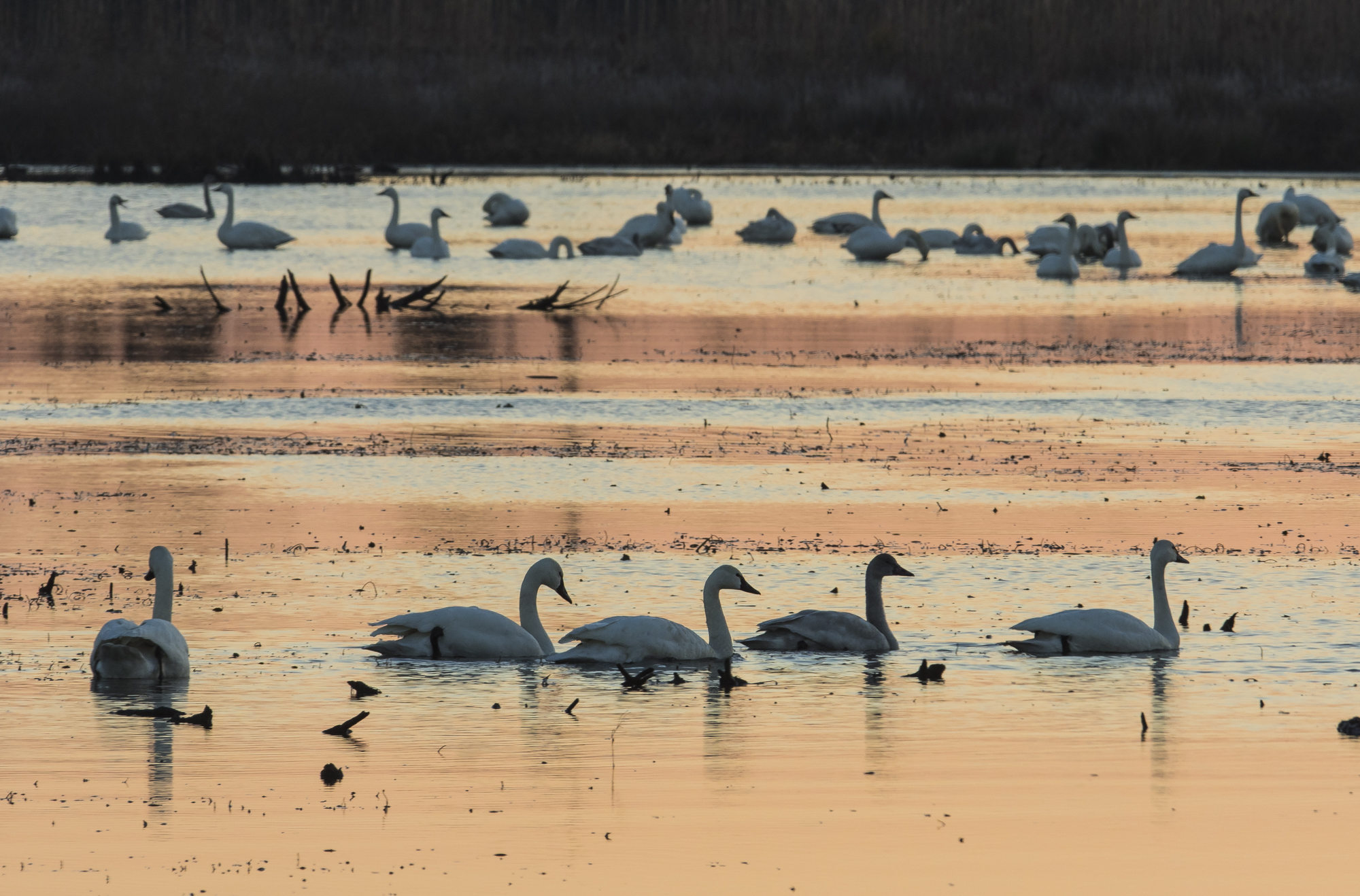 Tundra swans at sunrise