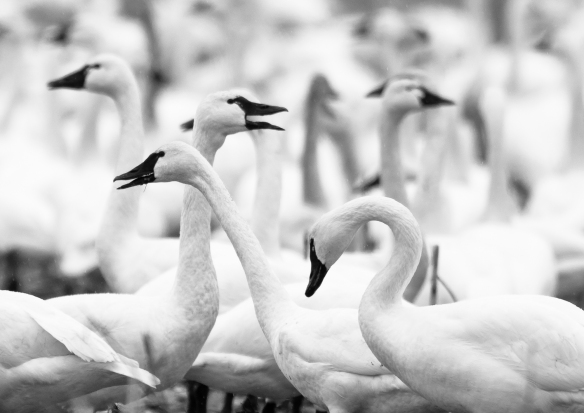 Tundra swans in field crop