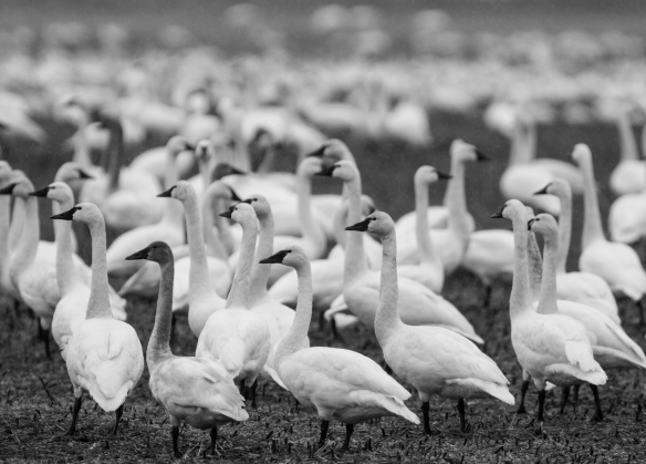 Tundra swans in field