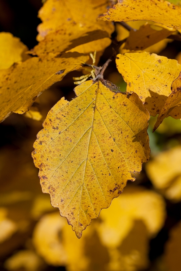 Witch hazel leaf in fall color