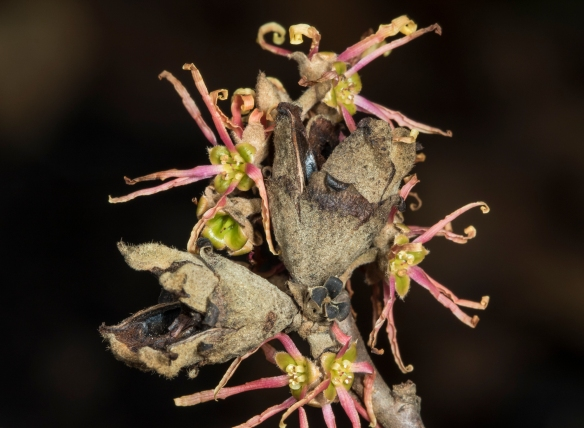 Witch hazel seed capsules and spent flowers