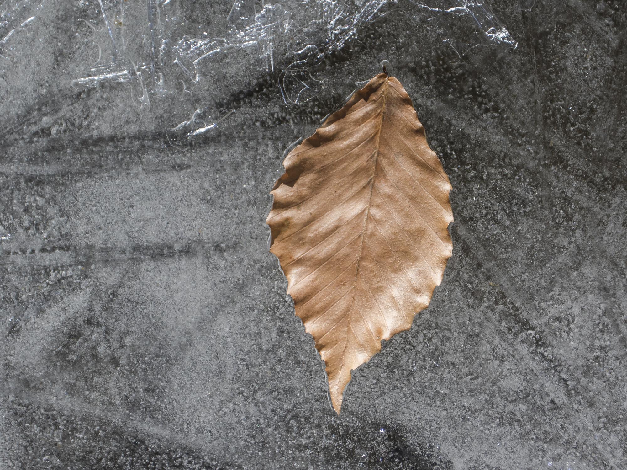 beech leaf on ice