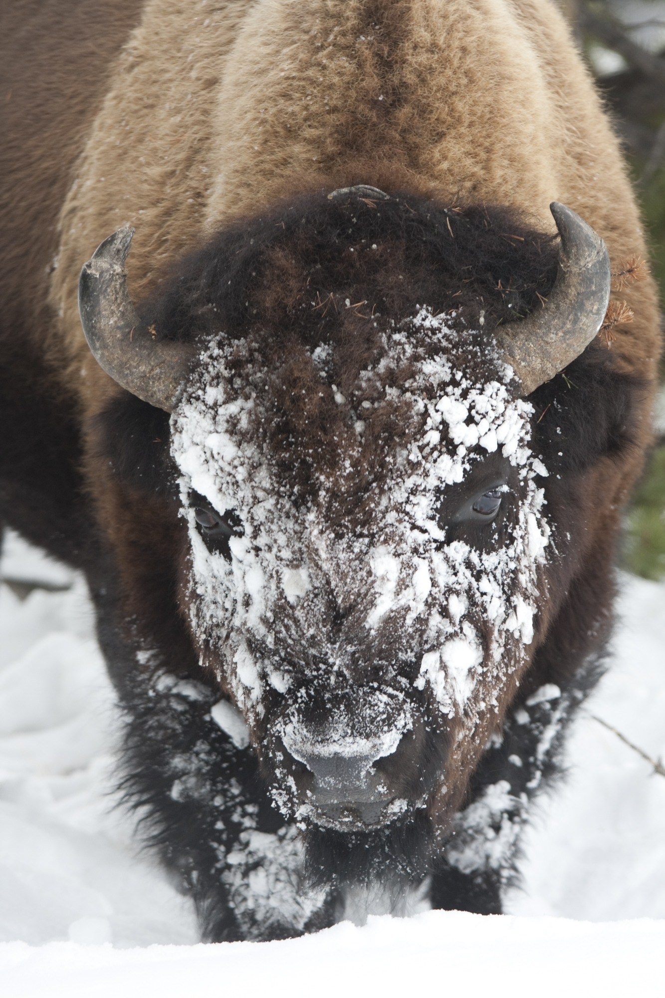 Bison plow