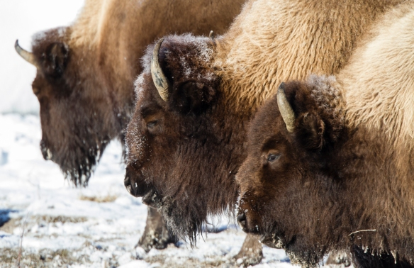 Bison repetition