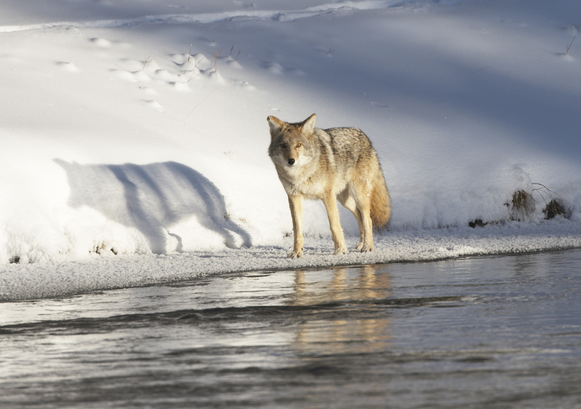 Coyote along Madison River