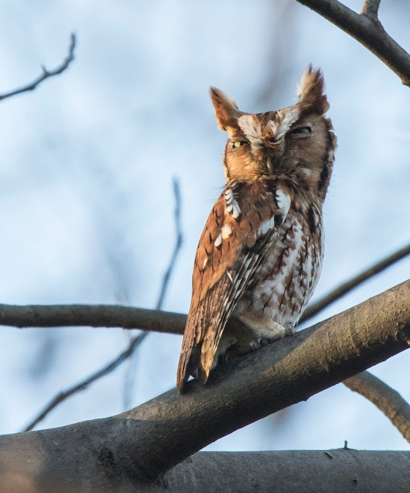 Eastern screech owl out on branch