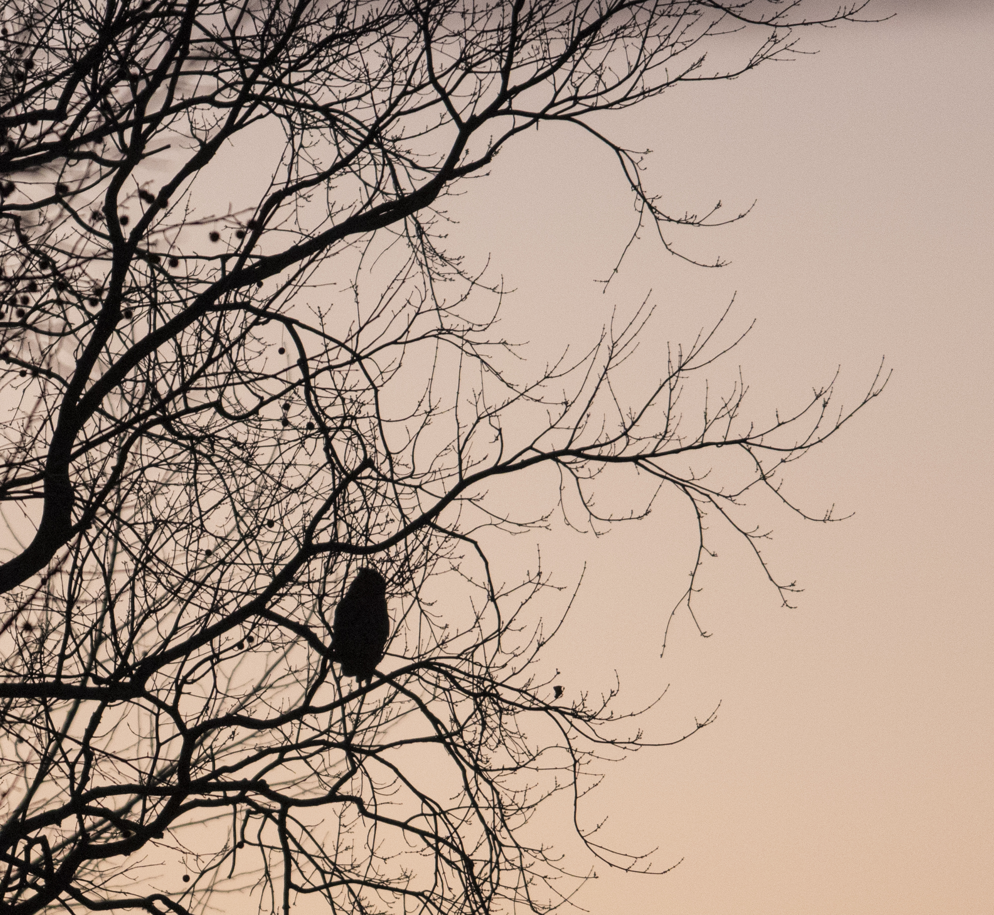 Great horned owl at sunset