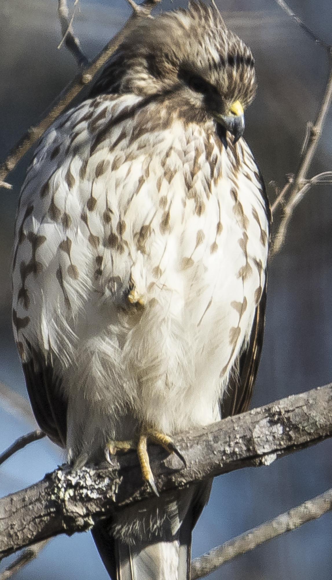 hawk standing on one leg