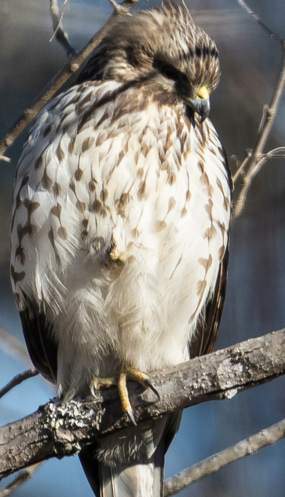hawk standing on one leg