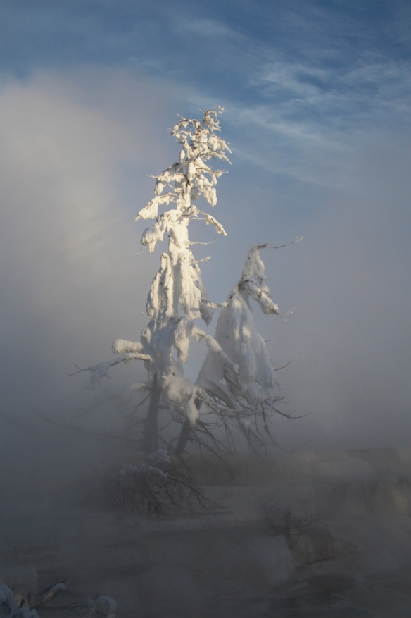 Ice-covered tree in thermal basin