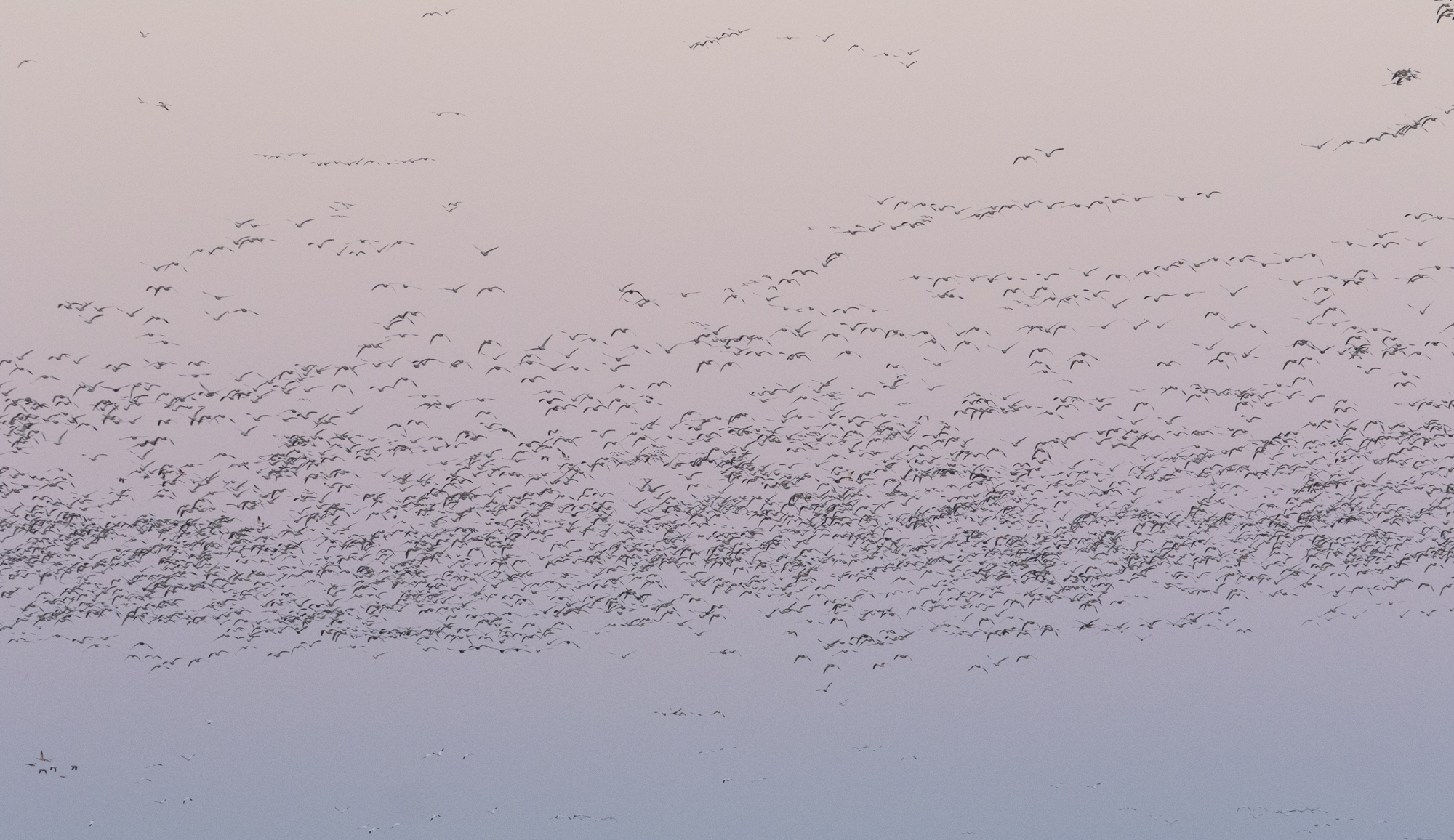 More snow geese arriving