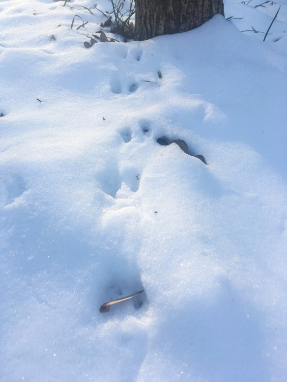 mouse tracks in snow