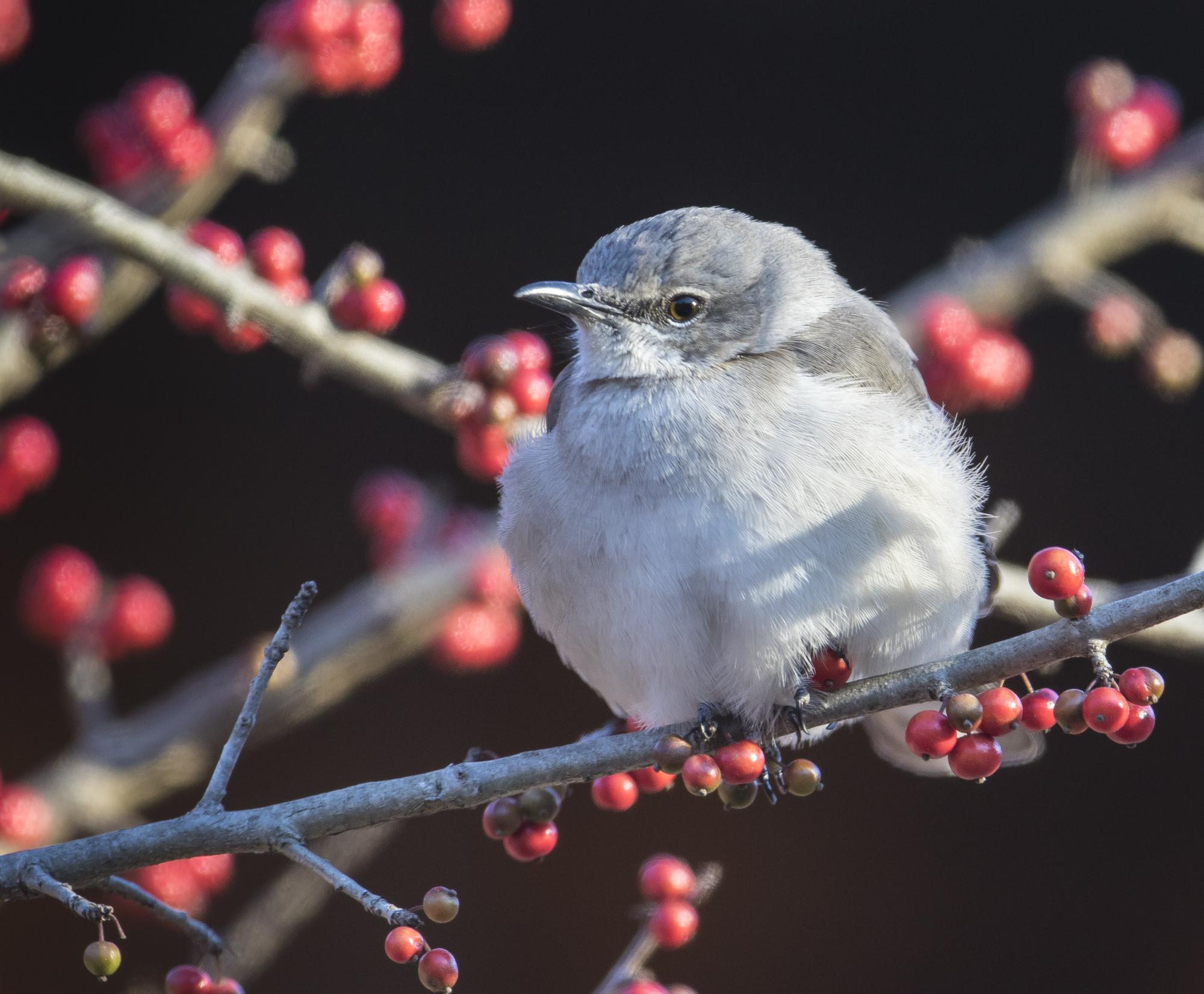 Northern mockingbird with berries