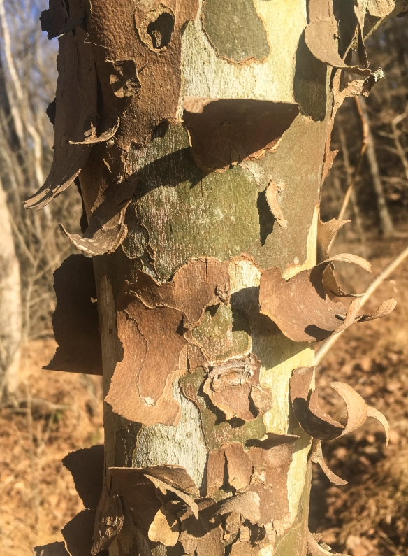 Peely Sycamore bark - young tree
