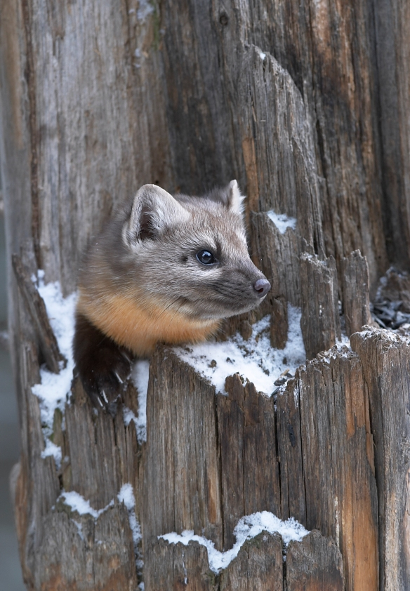 Pine Marten in tree trunk