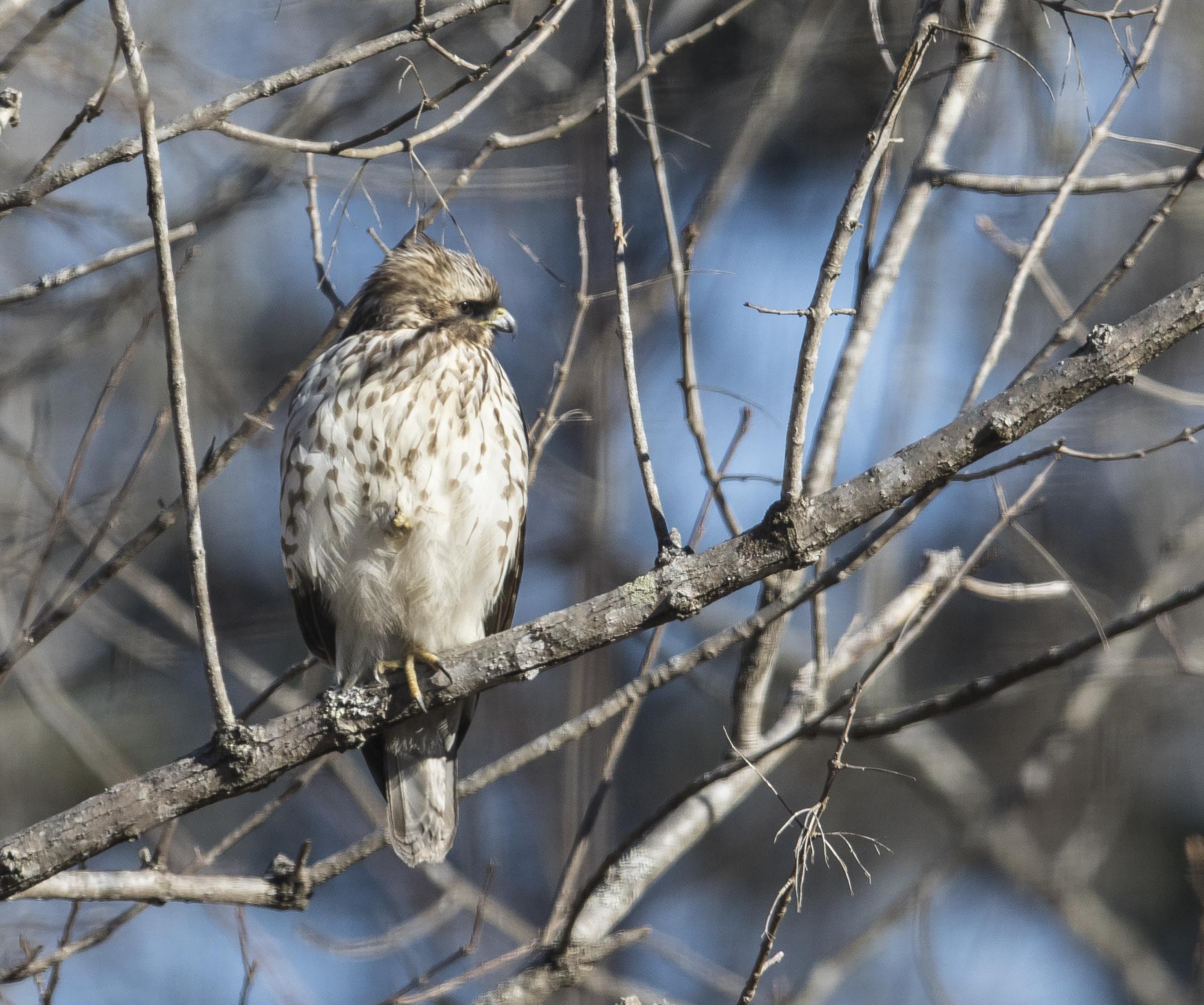 red-shouldered hawk immature