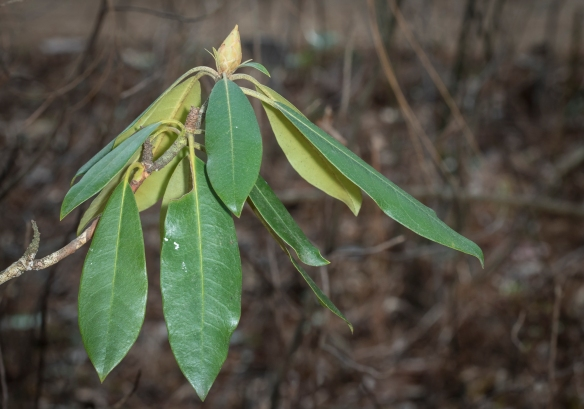 Rhododendron leaves at 58 degrees