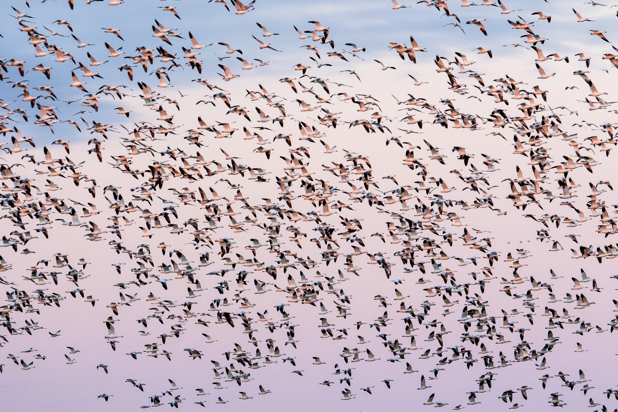 Snow geese swirling above the field at sunset