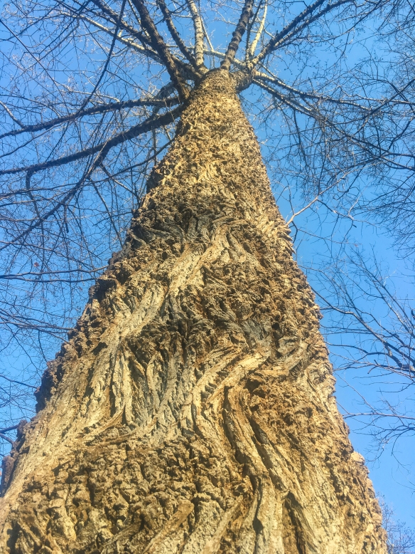 Tulip poplar in front yard looking up trunk