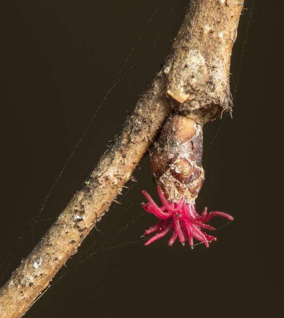 American hazelnut female flower - Corylus americana
