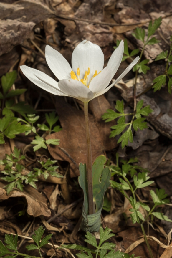 bloodroot flower a week after snow 1
