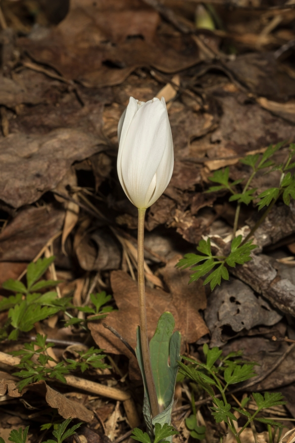 bloodroot flower in late afternoon as it closes for evening
