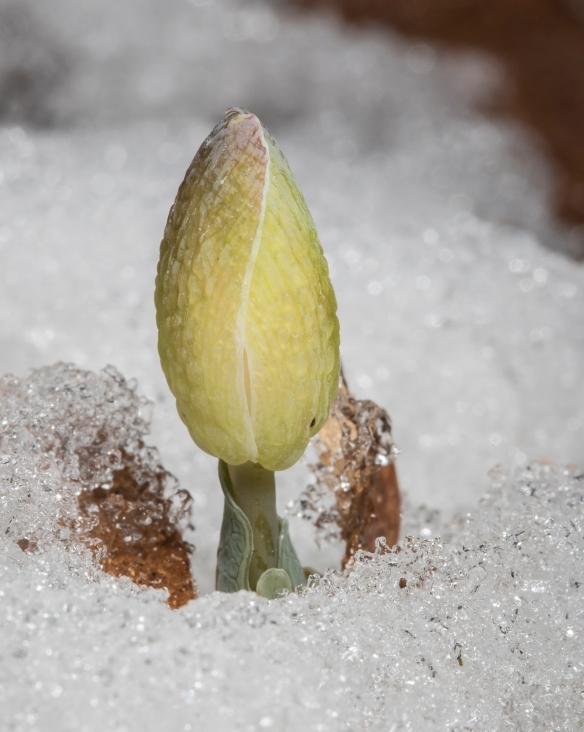 bloodroot flower in snow
