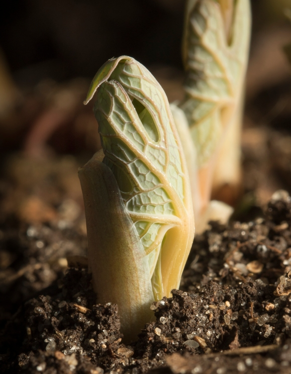 bloodroot when it first emerges from rhizome
