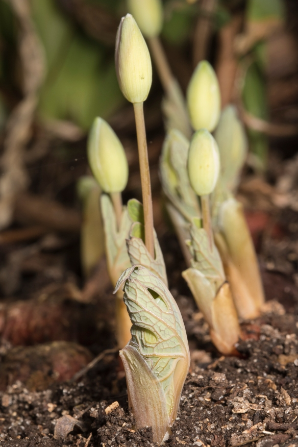 bloodroot with extended flower stalk