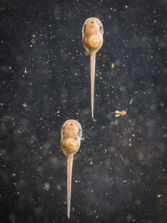 Upland chorus frog tadpoles after 2 days plus copepod